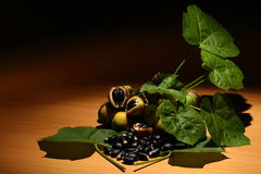 curcas owoc jatropha opuszczać ziarna Fotografia Royalty Free