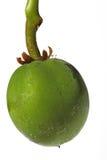 curcasfruktjatropha Royaltyfri Bild
