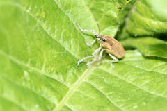Curculio Royalty Free Stock Images