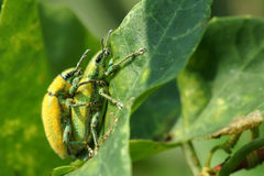 Curculio Royalty Free Stock Photography