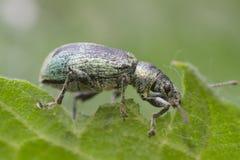 Curculionidae del gorgojo Imagenes de archivo