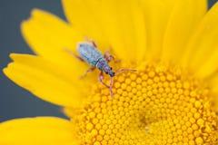 Curculisnoutkevers Royalty-vrije Stock Fotografie