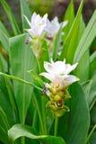 Curcuma alismatifolia blooming. Stock Photography