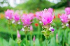 Curcuma alismatifolia blossom in Thailand Royalty Free Stock Image