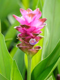 Curcuma alismatifolia Stock Photos