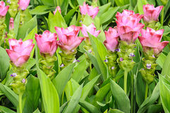 Curcuma alismatifolia Stock Photography