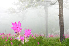 Curcuma alismatifolia field Stock Images