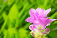 Curcuma alismatifolia flower Stock Photography