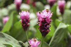 Curcuma alismatifolia flowers Royalty Free Stock Photos