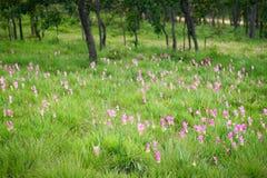 Curcuma alismatifolia. Flowers garden thailand Royalty Free Stock Photo