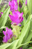 Curcuma alismatifolia Royalty Free Stock Photography