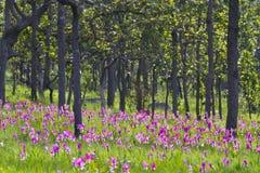 Curcuma alismatifolia 'Pink' 'Siam Tulip' Stock Photography