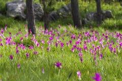 Curcuma alismatifolia 'Pink' 'Siam Tulip' Stock Photos