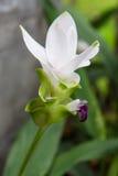 Curcuma alismatifolia, Siam tulip, flower Royalty Free Stock Image