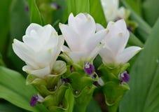 Curcuma alismatifolia, Siam tulip flower Stock Image