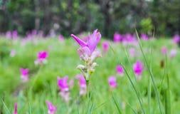 Curcuma alismatifolia or siam tulip. Stock Photography