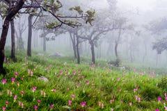 Curcuma alismatifolia or siam tulip. Stock Image