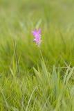 Curcuma alismatifolia, Siam tulip or summer tulip Royalty Free Stock Photography