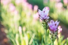 Curcuma alismatifolia or Siam tulip or Summer tulip in the garde Stock Photos