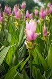 Curcuma alismatifolia or Siam tulip or Summer tulip in the garde Royalty Free Stock Photos