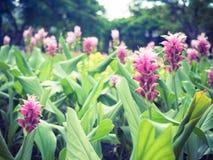 Curcuma alismatifolia or Siam tulip or Summer tulip in the garde Royalty Free Stock Photography