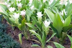 Curcuma alismatifolia Stock Image