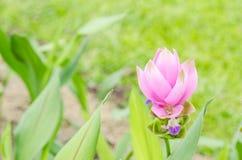 Curcuma alismatifolia or Siam tulip or Summer tulip Stock Photo