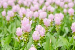 Curcuma alismatifolia or Siam tulip or Summer tulip Royalty Free Stock Photo