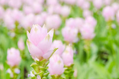Curcuma alismatifolia or Siam tulip or Summer tulip Royalty Free Stock Photos