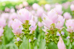 Curcuma alismatifolia or Siam tulip or Summer tulip Stock Photography