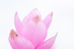 Curcuma alismatifolia or Siam tulip or Summer tulip Stock Photography