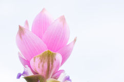 Curcuma alismatifolia or Siam tulip or Summer tulip Stock Photos