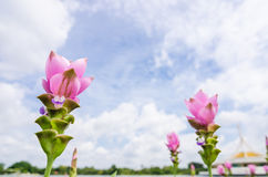 Curcuma alismatifolia or Siam tulip or Summer tulip Stock Photo