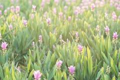 Curcuma alismatifolia or Siam tulip or Summer tulip Royalty Free Stock Images