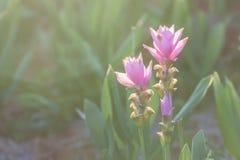 Curcuma alismatifolia or Siam tulip or Summer tulip Stock Images