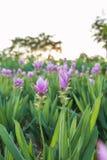 Curcuma alismatifolia or Siam tulip or Summer tulip Royalty Free Stock Image