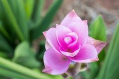 Curcuma alismatifolia or Siam tulip or Summer tulip Royalty Free Stock Photography