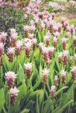 Curcuma alismatifolia or Siam tulip or summer tulip Stock Image