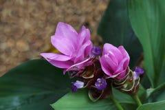 Curcuma Ginger Flower Fotografia de Stock