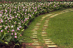 Curcuma Ginger Flower Immagine Stock