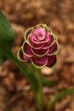 Curcuma Ginger Flower Fotografia Stock Libera da Diritti
