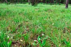 Curcuma parviflora Wall Royalty Free Stock Images