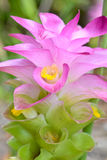 Curcuma sessilis flower Royalty Free Stock Images