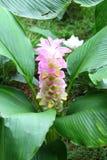 Curcuma sessilis Gage Stock Image