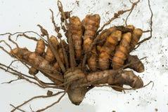 Curcuma or turmeric. Tuberous rootstock of tropical plant of ginger family curcuma or turmeric- Scientific name is curcuma aromatica- Zingiberaceae- just dug out royalty free stock images