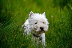Cão branco do terrier do westland da cura Imagem de Stock