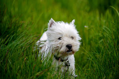 Cure white westland terrier dog Stock Image