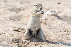 Écureuil au sol Photographie stock libre de droits