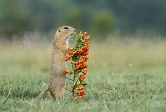Écureuil au sol avec des baies Photos stock