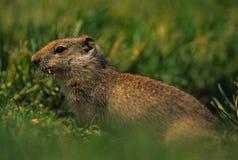 Écureuil au sol d'Uinta Photos stock